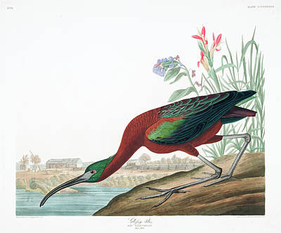 Ibis Wall Art - Painting - Glossy Ibis by John James Audubon