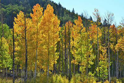 Photograph - Glowing Aspens Along Highway 62 by Ray Mathis