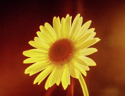 Photograph - Glowing Daisy by Douglas Barnett