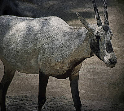 Photograph - Goat by Maria Reverberi
