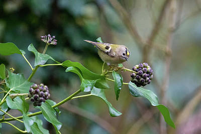 Photograph - Goldcrest by Matt Malloy
