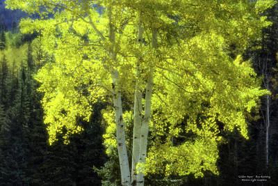 Photograph - Golden Aspen by Roy Kastning