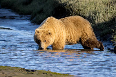 Photograph - Golden Bear by Jack Bell