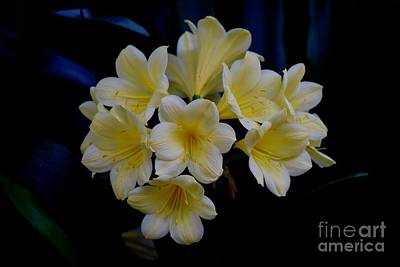 Photograph - Golden Clivia's by Jeannie Rhode