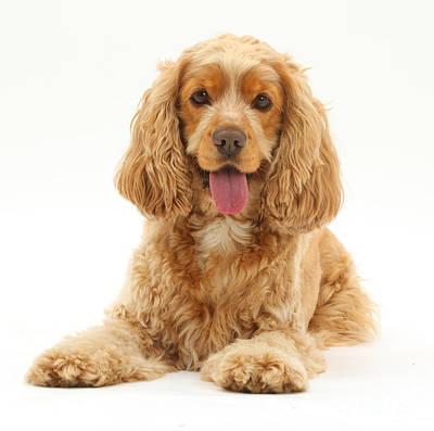 Golden Cocker Spaniel Dog Art Print
