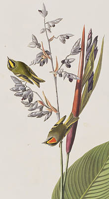 Leaf Drawing - Golden-crested Wren by John James Audubon