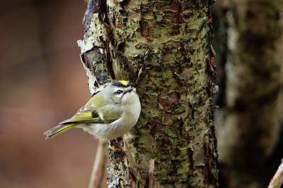Photograph - Golden-crowned Kinglet by Gary Hall