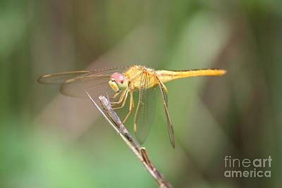 Photograph - Golden Dragonfly On Twig by Carol Groenen