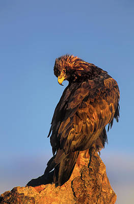 Photograph - Golden Eagle Aquila Chrysaetos Captive Colorado by Dave Welling