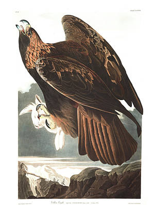 Birds Of Prey Drawing - Golden Eagle by John James Audubon