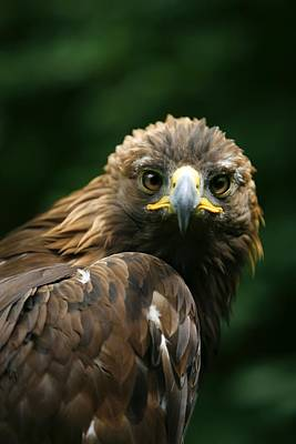 Photograph - Golden Eagles Face Aquila Chrysaetos by Deddeda
