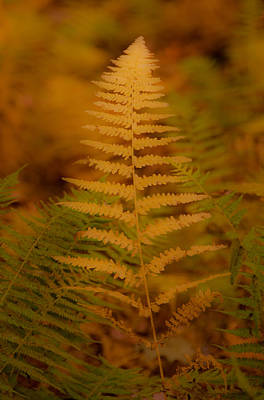 Photograph - Golden Fall Fern by Brenda Jacobs