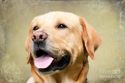 Golden Labrador Art Print by Nichola Denny