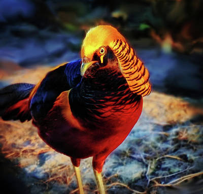 Photograph - Golden Pheasant by Lilia D