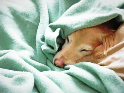 All You Need Is Love - Golden Retriever Dog Under the Blanket by Jennie Marie Schell