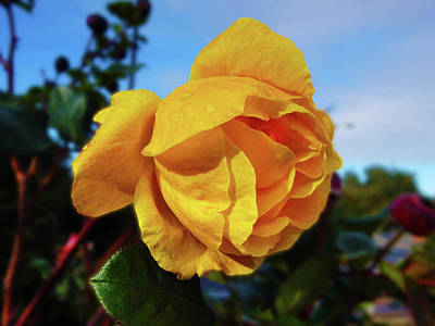 Photograph - Golden Rose by Mark Blauhoefer