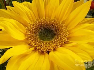 Photograph - Golden Sunflower by Jeannie Rhode