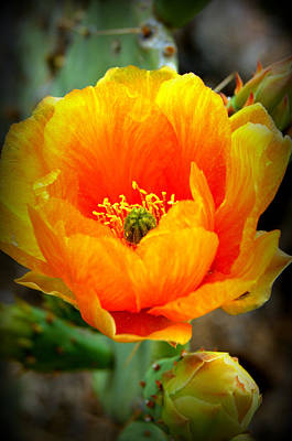 Food And Flowers Still Life Rights Managed Images - Golden Variegated Cactus Flower Royalty-Free Image by Teresa Stallings