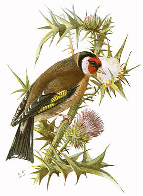 Finch Wall Art - Painting - Goldfinch by English School