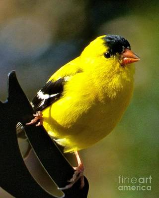 Photograph - Goldfinch by Jean Wright