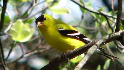 Photograph - Goldfinch Spring by Angela Davies