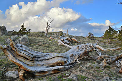 Photograph - Goliath Natural Area Bristlecones by Ray Mathis