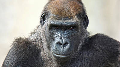 Photograph - Gorilla 1 by DiDi Higginbotham