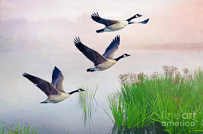 Canadian Goose Wall Art - Photograph - Graceful Geese by Laura D Young
