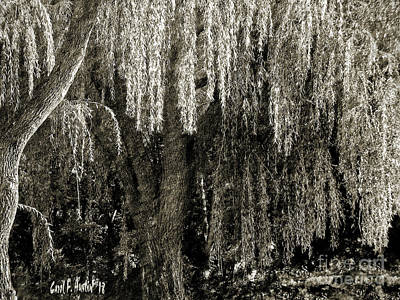 Photograph - Graceful Weeping Willow Tree  Fine Art Print by Carol F Austin