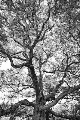 Connecticut Photograph - Granby Oak by HD Connelly