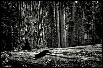 Photograph - Grant's Grove King's Canyon National Park by Roger Passman