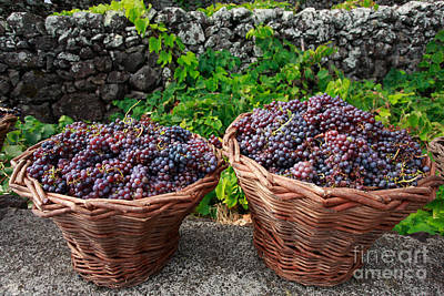 Grapevine Photograph - Grape Harvest by Gaspar Avila
