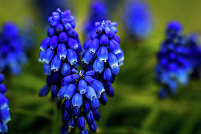 Photograph - Grape Hyacinth by Jay Stockhaus