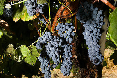 Grape Vineyard Art Print by PhotographyAssociates