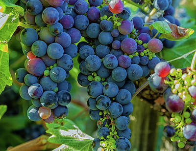 Photograph - Grapes 2 by Jonathan Nguyen