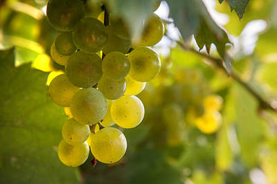 Grapes Filled With Sun Art Print by Jenny Rainbow