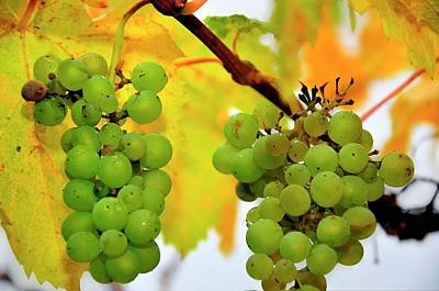 Photograph - Grapes On The Vine 6442 by Jerry Sodorff