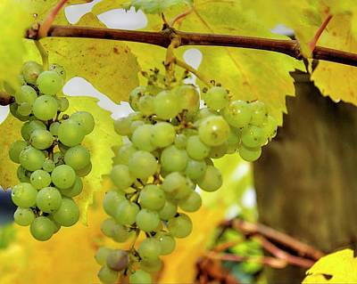 Photograph - Grapes On The Vine 6445 by Jerry Sodorff
