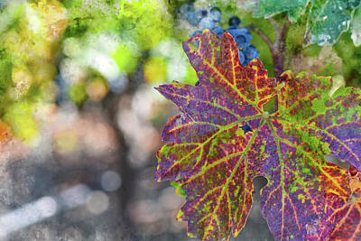 Napa Photograph - Grapevine In The Autumn Season by Brandon Bourdages
