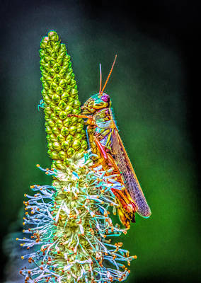 Photograph - Grasshopper 2 by Lilia D