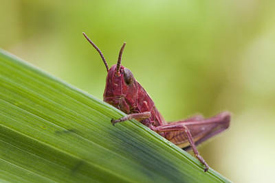 Large Leaves Photograph - Grasshopper by Andre Goncalves