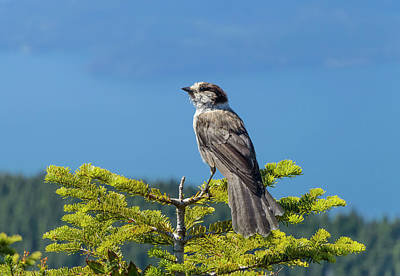 Photograph - Gray Jay by Kathy King