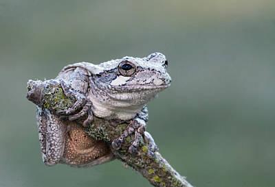 Photograph - Gray Tree Frog by Jim Zablotny