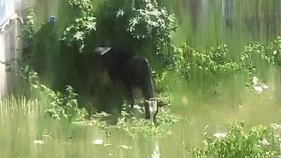 India Digital Art - Grazing Cow by Usha Shantharam