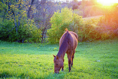 Photograph - Grazing Horse by Alexey Stiop