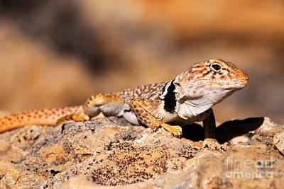 Collared Lizard Photograph - Great Basin Collared Lizard by Gary Whitton
