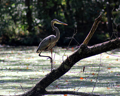 Photograph - Great Blue Heron In Wetlands by Karen Adams