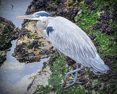 Art Print featuring the photograph Great Blue Heron by AJ Schibig