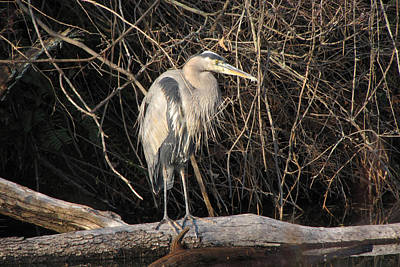 Photograph - Great Blue Heron by Ann Bridges