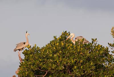 Digital Art - Great Blue Heron At Sian Ka'an Biosphere by Carol Ailles